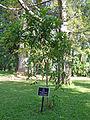 Saraca asoca-Jardin botanique de Kandy.jpg