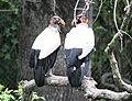Sarcoramphus papa -Audubon Zoo-8a.jpg