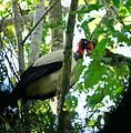 Sarcoramphus papa in Ecuador.jpg