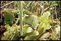 Sarracenia purpurea 1-eheep (5097346421).jpg