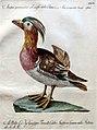 Saverio Manetti, Ornithologia methodice digesta, per monchiani, firenze 1767-76, 127 anatra querquedula della china.jpg