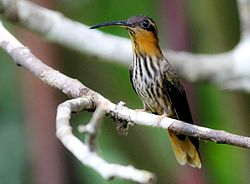 Saw-billed Hermit.jpg