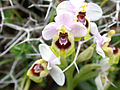 Sawfly Orchid (172099712).jpg
