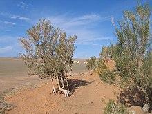 Куст в очень сухой среде обитания в пустыне