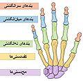 Scheme human hand bones-Persian.JPG