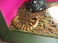 Scolopendra gigantea, Sunshine Aquarium.jpg