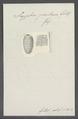 Scyphia pertusa - - Print - Iconographia Zoologica - Special Collections University of Amsterdam - UBAINV0274 112 03 0007.tif