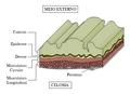 Seção da Parede do Corpo (Sipuncula).png