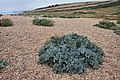 Sea kale (Crambe maritima) on Cogden Beach - geograph.org.uk - 1416242.jpg