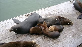 Eared seal - California sea lions