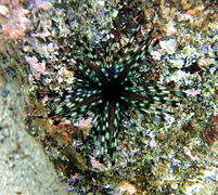 Sea urchin in kona.jpg