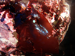 A red alga in a California tide pool displaying some iridescence when not covered with water