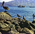 Seagulls and Brown Pelican.jpg