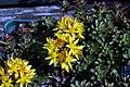 Sedum floriferum Weihenstephaner Gold 0zz.jpg
