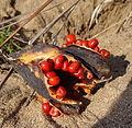 Seed pod of Gloriosa superba (14872918441).jpg