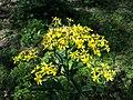 Senecio nemorensis subsp. jacquinianus sl8.jpg