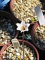 Sent as Zephyranthes drummondii - Flickr - peganum.jpg