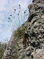 Sesleria caerulea (s. str.) sl5.jpg