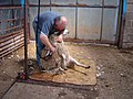 Sheep Shearing at the Brink farm - geograph.org.uk - 545146.jpg