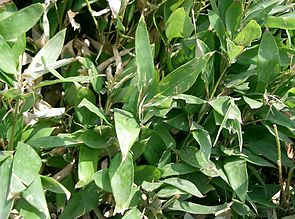 Shibataea kumasaca1.jpg