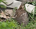 Shikra (Accipiter badius) with a captured Common Myna (Acridotheres tristis) W IMG 0750.jpg