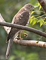 Shikra (Immature) at Roorkee I IMG 9078.jpg
