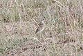 Short-billed Pipit (Anthus furcatus) (15773575190).jpg