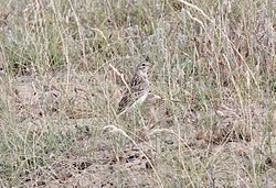 Short-billed Pipit (Anthus furcatus) (15773575190).jpg
