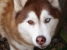 220px-Siberian_Husky_copper_bi-eye.jpg