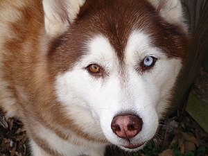 "A copper ""bi-eye"" Siberian Husky."
