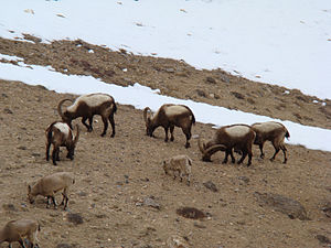 Siberian ibex - Herd of Siberian ibex (Capra sibirica)