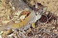 Sierra Nevada Lizard (Timon nevadensis) male (found by Jean NICOLAS) (35778938553).jpg
