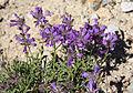 Sierra penstemon Penstemon heterodoxus.jpg