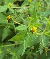 Sigesbeckia orientalis 12.JPG