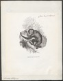Simia satyrus - 1851-1876 - Print - Iconographia Zoologica - Special Collections University of Amsterdam - UBA01 IZ19800035.tif
