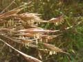 Sinarundinaria nitida flor.jpg