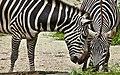 Singapore Zoo Zebra-2 (6591275577).jpg