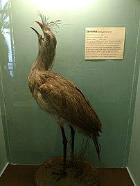 Siriema (Cariama cristata) - Museu Nacional-RJ.jpg