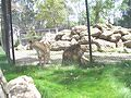 Six Flags Discovery Kingdom Lions.JPG