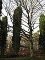 Skeleton of a dead beech tree - geograph.org.uk - 642223.jpg