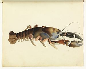 Tasmanian giant freshwater crayfish - A watercolour sketch of a giant freshwater lobster attributed to William Buelow Gould from Sketchbook of fishes (1832)
