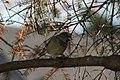 Slate-coloured Junco in Spruce Tree 5718 (6316012382).jpg