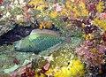 Sleeping parrotfish (4590716878).jpg