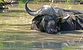 Sleepy Buffalo (Syncerus caffer) making bubbles (16492199951).jpg