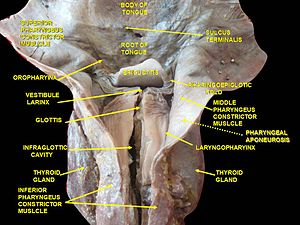 Superior pharyngeal constrictor muscle