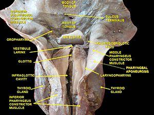 Inferior pharyngeal constrictor muscle - Image: Slide 1kuku