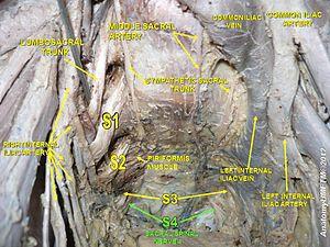 Sacral spinal nerve 4