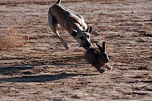 Hare coursing - Sloughi coursing a hare