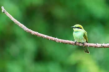 Small Green Bee Eater.jpg