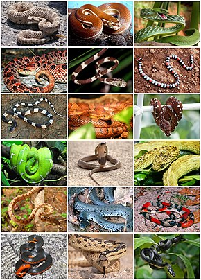 Description de l'image Snakes Diversity.jpg.